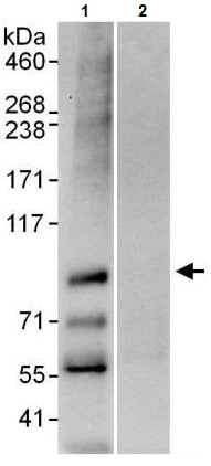 Immunoprecipitation - Anti-CGBP antibody (ab225699)