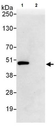 Immunoprecipitation - Anti-EBP1 antibody (ab225704)