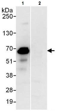 Immunoprecipitation - Anti-PUF60/FIR antibody (ab225705)