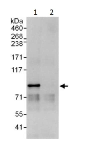 Immunoprecipitation - Anti-Cullin 1/CUL-1 antibody (ab225709)
