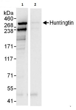 Immunoprecipitation - Anti-Huntingtin antibody (ab225711)