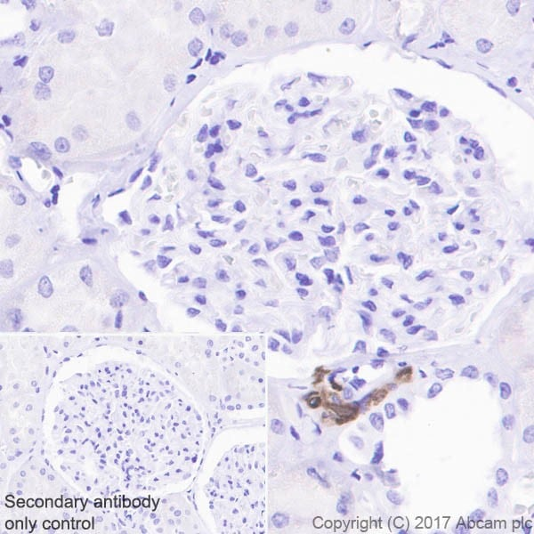 Immunohistochemistry (Formalin/PFA-fixed paraffin-embedded sections) - Anti-Renin antibody [EPR20693] - BSA and Azide free (ab225743)
