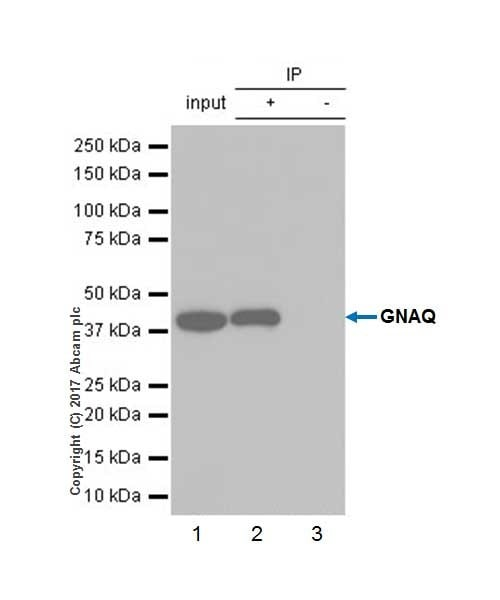 Immunoprecipitation - Anti-GNAQ antibody [EPR20978] - BSA and Azide free (ab225744)
