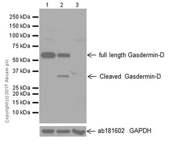 Western blot - Anti-GSDMD antibody [EPR19828] - BSA and Azide free (ab225867)