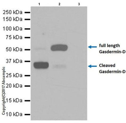 Immunoprecipitation - Anti-GSDMD antibody [EPR19828] - BSA and Azide free (ab225867)