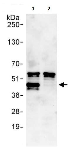 Immunoprecipitation - Anti-LEF1 antibody (ab225871)