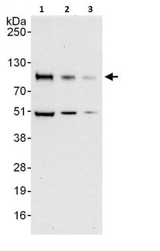 Western blot - Anti-ICAM1 antibody (ab225884)