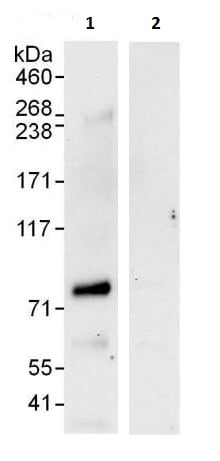 Immunoprecipitation - Anti-SENP1 antibody (ab225887)