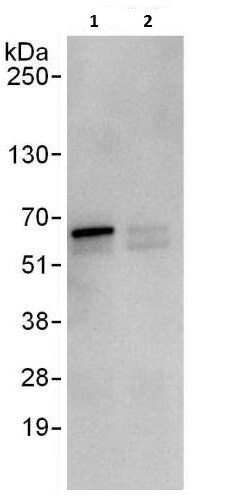 Immunoprecipitation - Anti-TRAF2 antibody (ab225888)