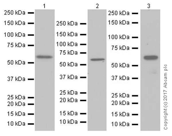 Western blot - Anti-AMPK alpha 2 antibody [EP20772] - BSA and Azide free (ab225899)