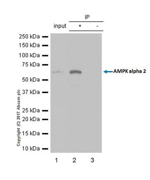 Immunoprecipitation - Anti-AMPK alpha 2 antibody [EP20772] - BSA and Azide free (ab225899)
