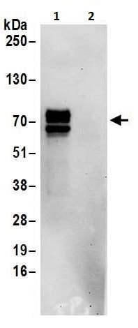 Immunoprecipitation - Anti-PCTAIRE1 antibody (ab225903)
