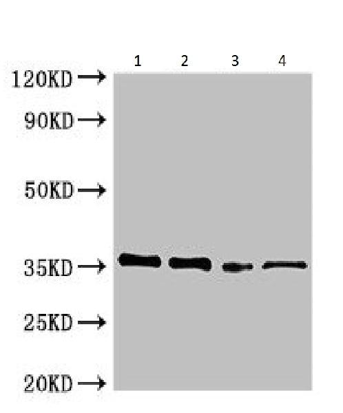 Western blot - Anti-Phosphinotricin Acetyl Transferase antibody (ab225957)