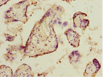 Immunohistochemistry (Formalin/PFA-fixed paraffin-embedded sections) - Anti-ELF2/NERF antibody (ab225958)