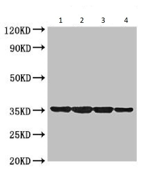 Western blot - Anti-DNA protection during starvation protein antibody (ab225986)
