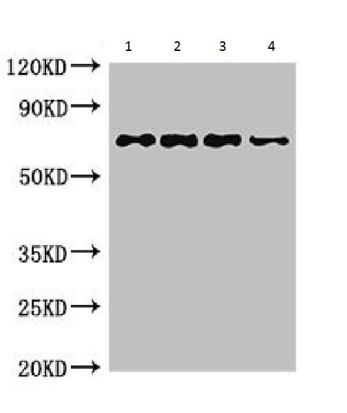 Western blot - Anti-Chaperone protein HtpG antibody (ab225994)