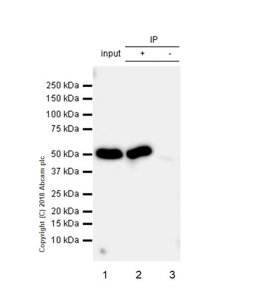 Immunoprecipitation - Anti-Cytochrome P450 17A1/CYP17A1 antibody [EPR6293] - Low endotoxin, Azide free (ab226009)