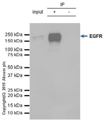 Immunoprecipitation - Anti-EGFR antibody [E114] - Low endotoxin, Azide free (ab226011)
