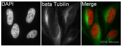 Immunocytochemistry/ Immunofluorescence - Anti-beta Tubulin antibody [EPR1330] - BSA and Azide free (ab226028)