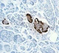 Immunohistochemistry (Formalin/PFA-fixed paraffin-embedded sections) - Anti-Glucagon antibody [EPR3070-45] - BSA and Azide free (ab226035)