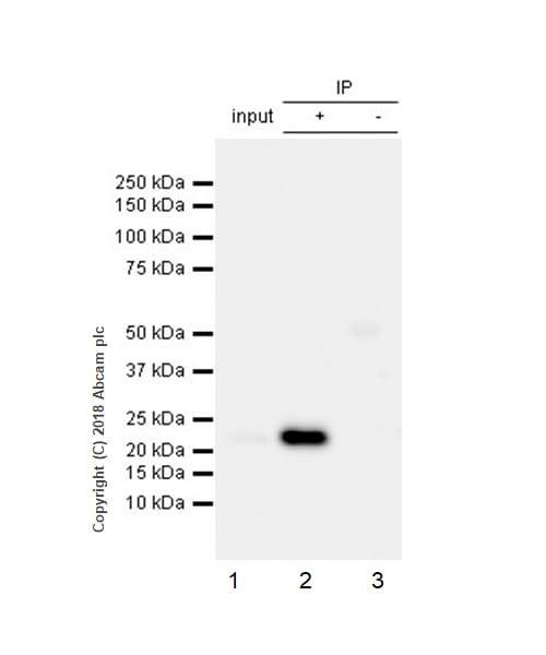 Immunoprecipitation - Anti-Rab4 antibody [EPR3043] - BSA and Azide free (ab226047)