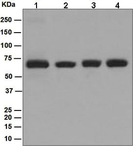 Western blot - Anti-p60 CAF1/MPP7 antibody [EPR6105] - BSA and Azide free (ab226065)