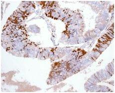 Immunohistochemistry (Formalin/PFA-fixed paraffin-embedded sections) - Anti-Kininogen 1 antibody [EPR6097] - BSA and Azide free (ab226087)