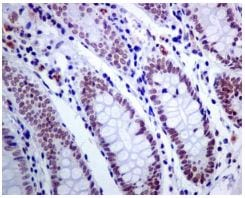Immunohistochemistry (Formalin/PFA-fixed paraffin-embedded sections) - Anti-ACTL6A antibody [EPR7443] - BSA and Azide free (ab226119)
