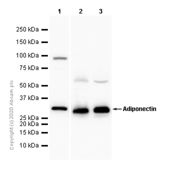 Western blot - Anti-Adiponectin antibody [EPR3218] - BSA and Azide free (ab226122)