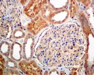 Immunohistochemistry (Formalin/PFA-fixed paraffin-embedded sections) - Anti-RBP4 antibody [EPR5878] - BSA and Azide free (ab226137)