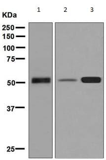 Western blot - Anti-alpha 1 Antitrypsin antibody [EPSISR16] - BSA and Azide free (ab226145)