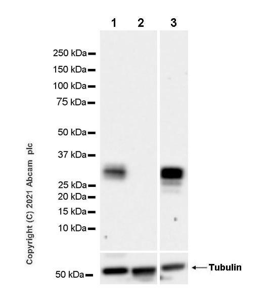 Western blot - Anti-Granzyme B antibody [EPR8260] - BSA and Azide free (ab226162)