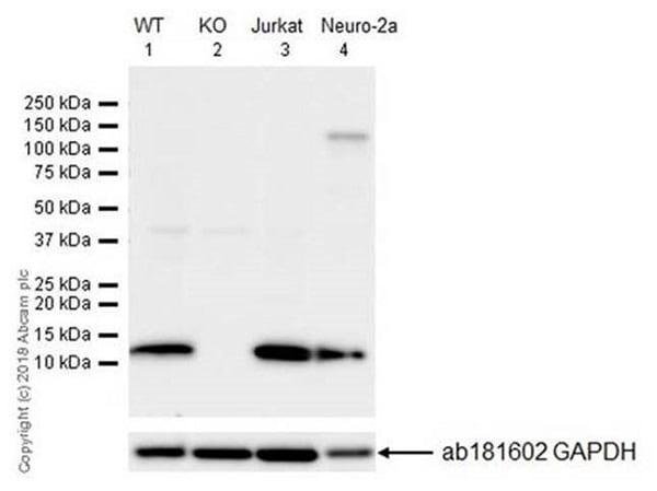 Western blot - Anti-MIF antibody [EPR18149-128] - BSA and Azide free (ab226166)