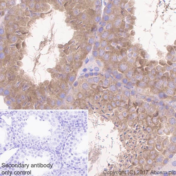 Immunohistochemistry (Formalin/PFA-fixed paraffin-embedded sections) - Anti-GSK3 beta + GSK3 alpha antibody [EPR18814-102] - BSA and Azide free (ab226169)