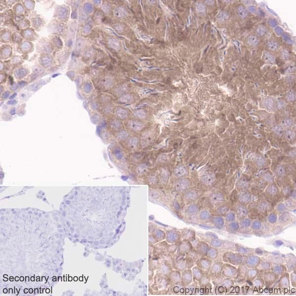 Immunohistochemistry (Formalin/PFA-fixed paraffin-embedded sections) - Anti-GSK3 beta + GSK3 alpha antibody [EPR18814-102] - BSA and Azide free (ab226169)