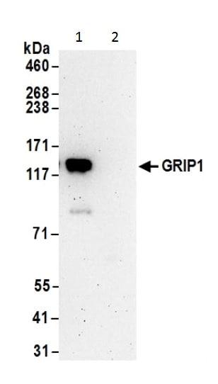 Immunoprecipitation - Anti-GRIP1 antibody (ab226201)
