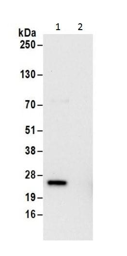 Immunoprecipitation - Anti-Ran antibody - C-terminal (ab226205)