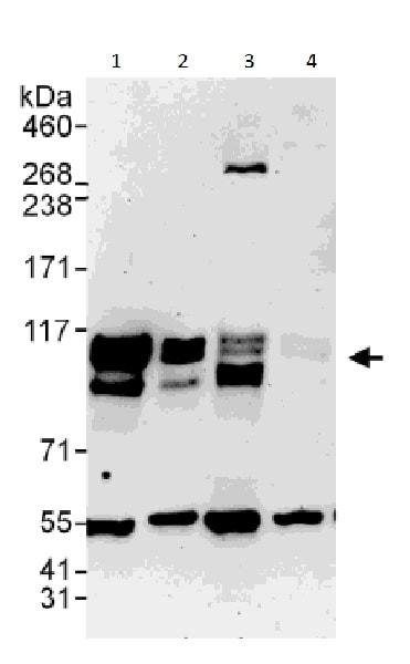 Western blot - Anti-SKI antibody - C-terminal (ab226208)