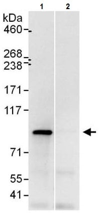 Immunoprecipitation - Anti-UFL1 antibody - C-terminal (ab226216)