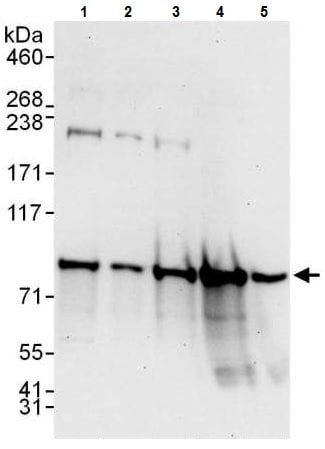 Western blot - Anti-UFL1 antibody - C-terminal (ab226216)