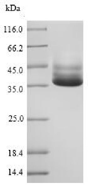 SDS-PAGE - Recombinant Salmonella typhimurium D-galactose binding periplasmic protein (His tag) (ab226235)