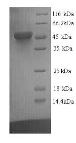 SDS-PAGE - Recombinant Human TEF1/TEAD-1 protein (His tag) (ab226236)