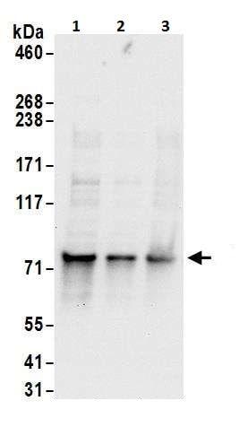Western blot - Anti-c-Myb antibody (ab226251)