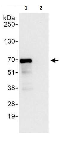 Immunoprecipitation - Anti-MEF2D antibody (ab226254)