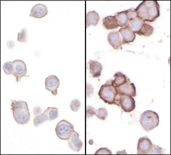 Immunocytochemistry - Anti-CD276 antibody (ab226256)