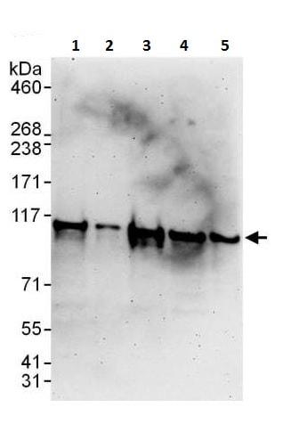 Western blot - Anti-AlaRS antibody (ab226259)