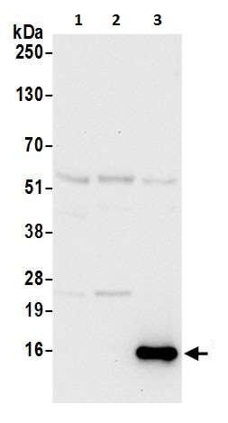 Western blot - Anti-CD3 zeta antibody (ab226263)