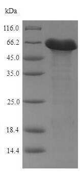 SDS-PAGE - Recombinant <em>B. subtilis</em> Penicillin-binding protein 4* (His tag) (ab226290)