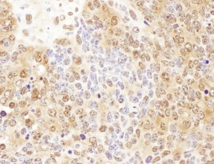 Immunohistochemistry (Formalin/PFA-fixed paraffin-embedded sections) - Anti-p23 antibody (ab226295)