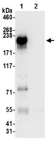 Immunoprecipitation - Anti-NFAT5 antibody (ab226308)
